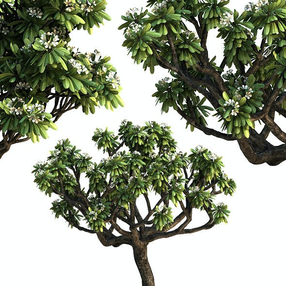 Frangipani Tree v.3