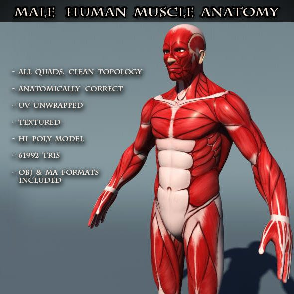 Human Male Muscle Anatomy - 3DOcean Item for Sale